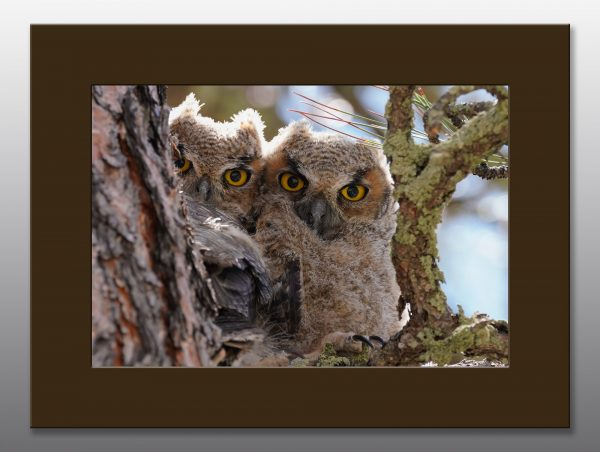 great horned owlets - Moment of Perception Photography