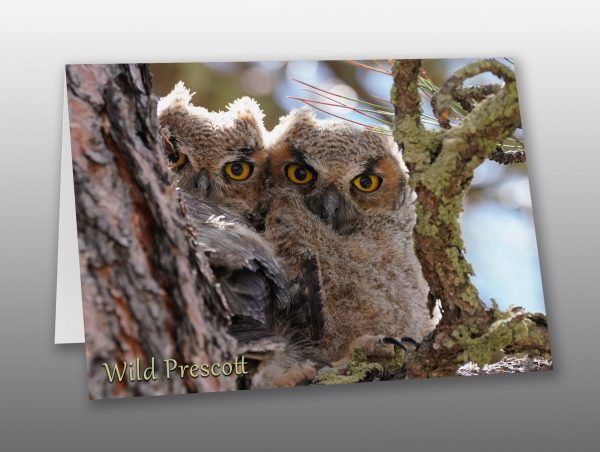 Great Horned Owlets Look at the Camera- Moment of Perception Photography