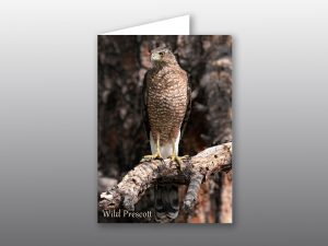 Coopers Hawk - Moment of Perception Photography