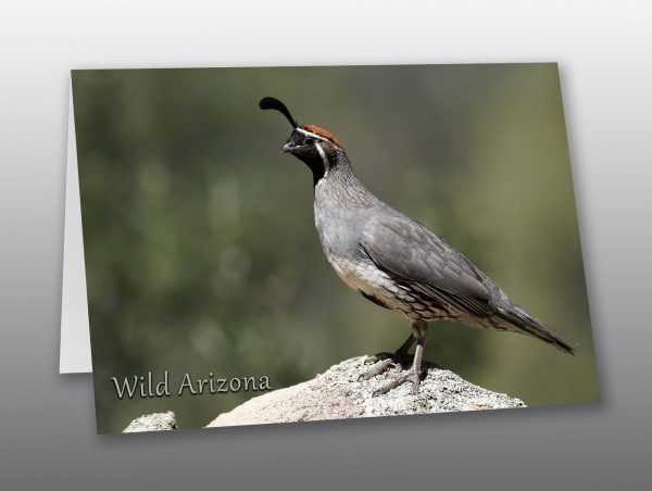 male gambels quail - Moment of Perception Photography