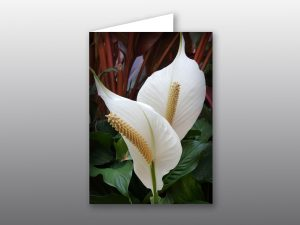 Spathiphyllum Flower - Moment of Perception Photography
