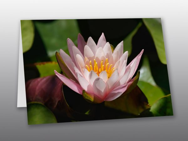 pink-water-lily-Moment-of-Perception-Photography