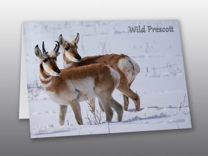 pronghorn antelope in snow - Moment of Perception Photography