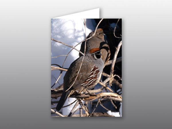 Gambels Quail Couple - Moment of Perception Photography