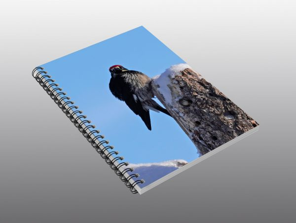 acorn woodpecker in winter - Moment of Perception Photography