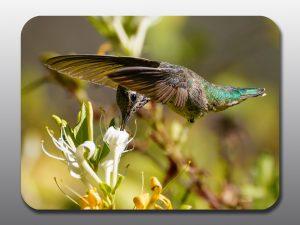 hummingbird in flight - Moment of Perception Photography