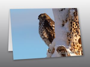 hawk perched on snowy tree - Moment of Perception Photography
