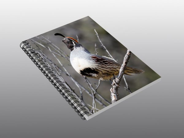Gambels Quail Crowing - Moment of Perception Photography