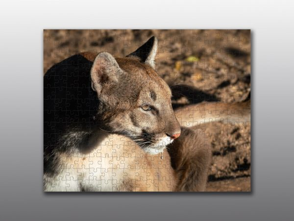cougar close up - Moment of Perception Photography