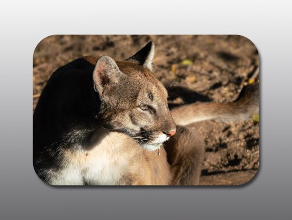 cougar drinking - Moment of Perception Photography