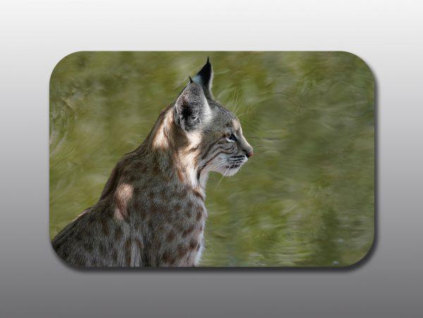 bobcat close up - Moment of Perception Photography