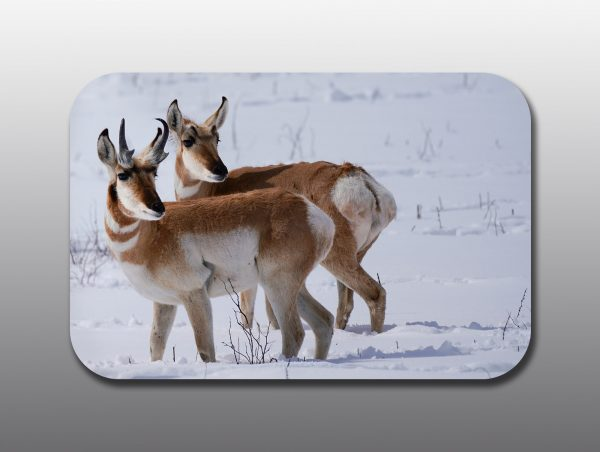 Pronghorn Buck and Doe - Moment of Perception Photography