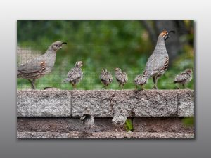 gambels quail family - Moment of Perception Photography