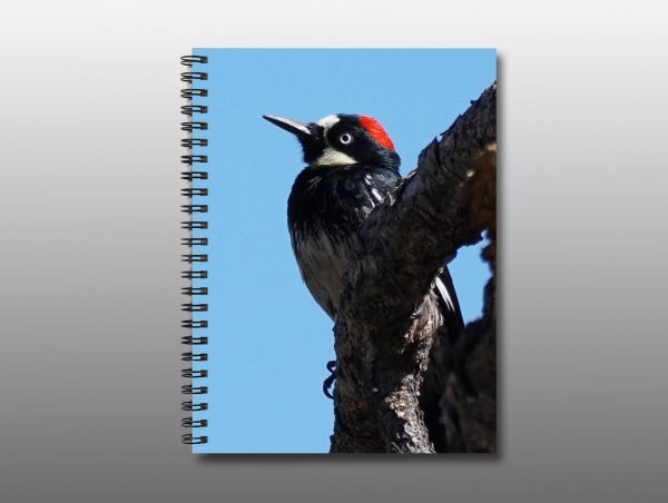 acorn woodpecker - Moment of Perception Photography