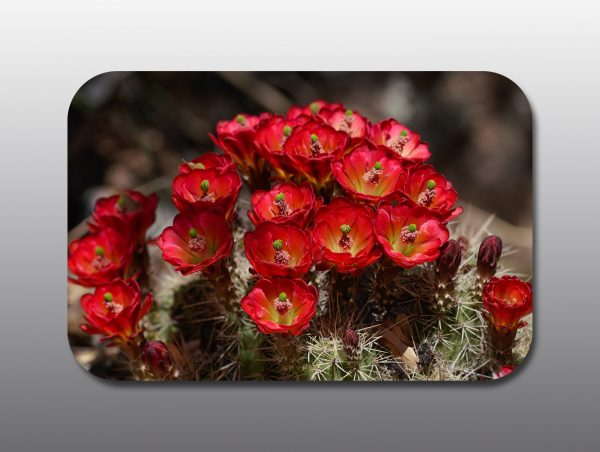 hedgehog cactus flowers - Moment of Perception Photography