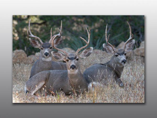 mule deer bucks - Moment of Perception Photography