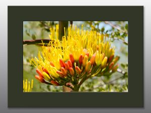 blooming agave flower - Moment of Perception Photography