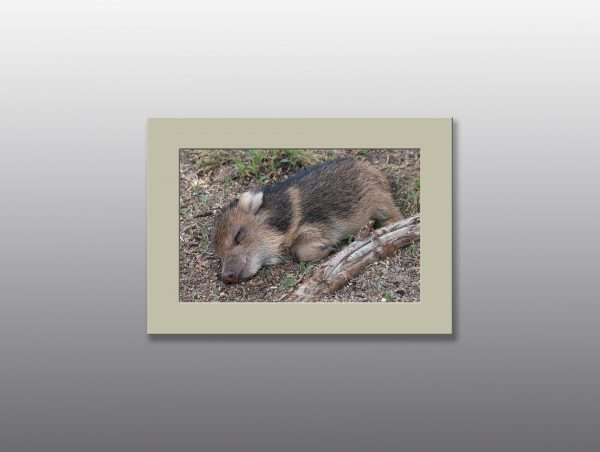 baby javelina sleeping - Moment of Perception Photography
