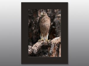 large hawk perched on tree branch - Moment of Perception Photography