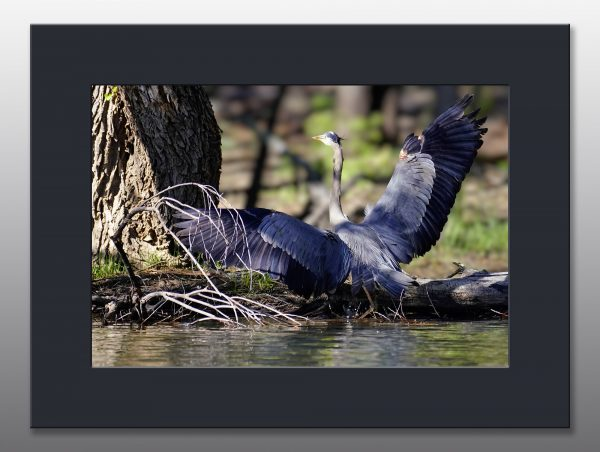 great blue heron in lake - Moment of Perception Photography