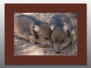 Javelina Piglings Taking a Nap - Moment of Perception Photography