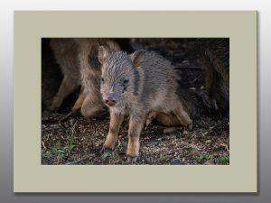 javelina newborn baby - Moment of Perception Photography