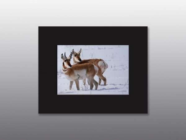 arizona pronghorn in winter - Moment of Perception Photography