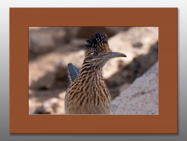 southwest roadrunner - Moment of Perception Photography