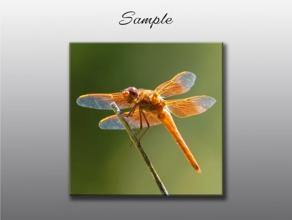 orange dragonfly - Moment of Perception Photography