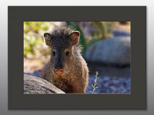 arizona javelina - Moment of Perception Photography