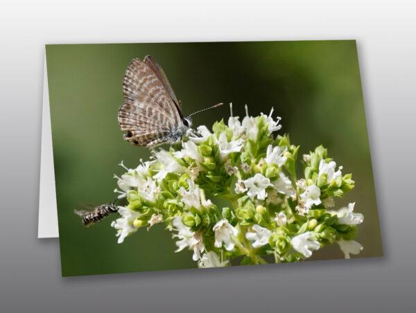 miniature ceraunus blue butterfly sitting on oregano flowers - Moment of Perception Photography