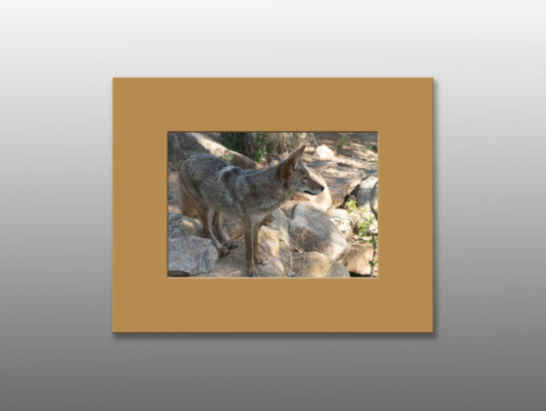 Healthy Coyote Surveys its' Surroundings - Moment of Perception Photography