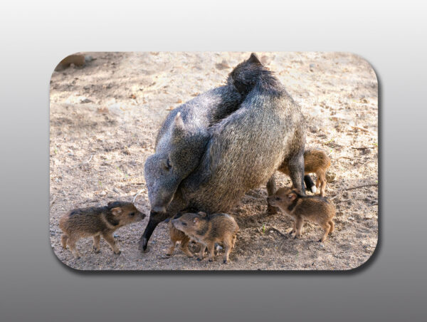 Mothers and Baby Javelina Showing Affection - Moment of Perception Photography